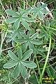 Mystery plant (Heiterwanger See) (15619083140).jpg