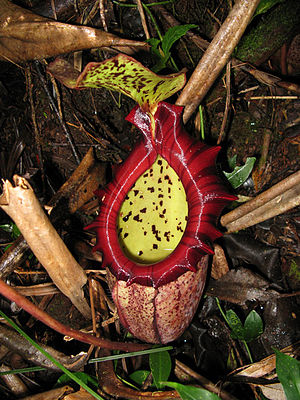 Nepenthes × alisaputrana - A lower pitcher of N. × alisaputrana