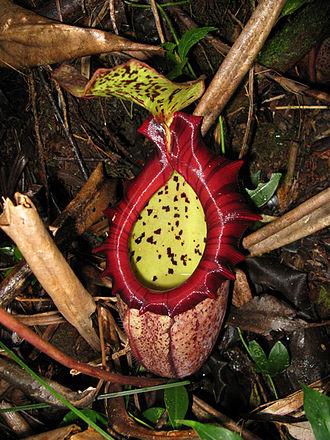 Nepenthes × alisaputrana - A lower pitcher of N. × alisaputrana