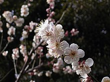 N2 plum blossoms.jpg
