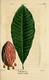 NAS-055 Magnolia tripetala.png