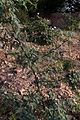 NH 65-Acacia jacquemontii-20131012.jpg