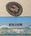 Nacella deaurata IMG 5452 Beijing Museum of Natural History - Natural History Museum of Guangxi.jpg