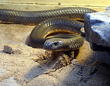 Caspian cobra