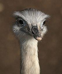 Nandu (Rhea americana) Zoo Salzburg 2014 c.jpg