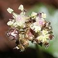 Nanocnide japonica (flower s4).jpg