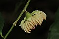 Napoleonaea vogelii (Lecythidaceae) (24361349441).jpg