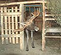 Narrow-Gate-for-Big-Antlers-hp3240.jpg
