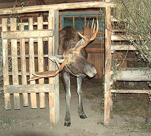 Kostroma Moose Farm - This bull moose finds a gate at Kostroma Moose Farm rather narrow for his antlers.