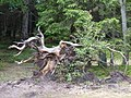 Natural tree art - Szent Anna to - Lacul Sf. Ana - St.Anne's Lake - panoramio.jpg