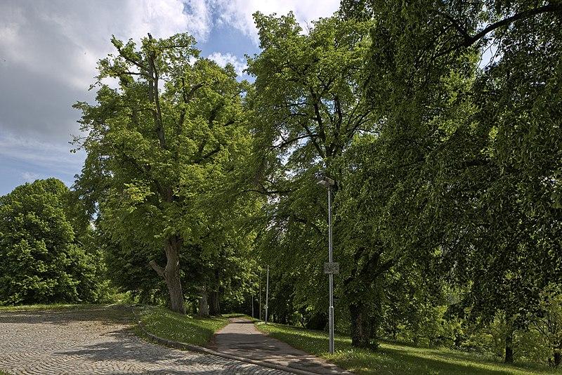 File:Naturdenkmal 12 Linden, Kennung 82350800012, Wildberg 03.jpg