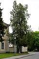 Naturdenkmal 32 Lebensbaum Lobaugasse.jpg