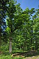 Naturdenkmal Alte Eiche, Kennung 82350800006, Wildberg, von Osten 02.jpg