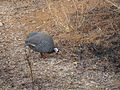 Nature in my Backyard Guinea Fowl Mylasandra Raghavan N.jpg