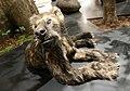 Naturhistorisches Museum Mainz- (8)-Bärenhund-Agnotherium antiquum.jpg