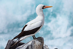 A side-view photograph of a white bird perched atop a rock in front of blue waves crashing in.  The white bird has an orange beak with a black wattle and Tertials