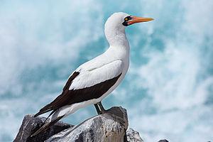 Nazca booby - Adult on Española Island, Galapagos Islands