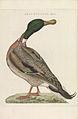 Nederlandsche vogelen (KB) - Anas platyrhynchos (215pl).jpg