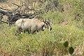 Neelgai Boselaphus tragocamelus by Dr. Raju Kasambe DSCN7671 (5).jpg