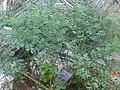 Neelithappu medicine plant.jpg
