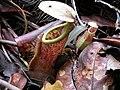 Nepenthes benstonei3.jpg