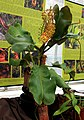 Nepenthes spathulata Exhibition of Carnivorous Plants Prague 2015 1.jpg