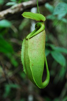 Nepenthes surigaoensis upper pitcher.jpg