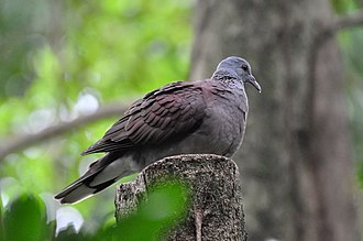 Streptopelia - The Nesoenas group (here: Madagascar turtle dove, N./S. picturata) has a reddish hue and no conspicuous neck pattern; they are found in the Madagascar region