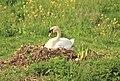 Nest met zwaan.jpg