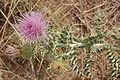 New Mexico Thistle, Cirsium neomexicanum blossom, Albuquerque.JPG