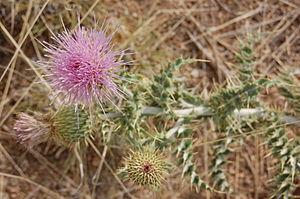 Cirsium neomexicanum - Image: New Mexico Thistle, Cirsium neomexicanum blossom, Albuquerque