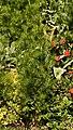 Nigella damascena (1992-1701-D) Plant.jpg