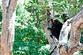 Nilgiri Langur - 8.jpg