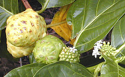 In some plants, such as this noni, flowers are produced regularly along the stem and it is possible to see together examples of flowering, fruit development, and fruit ripening