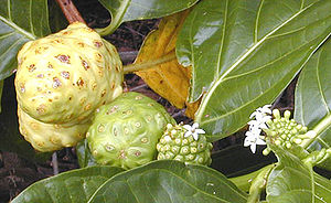 Multiple fruit - In some plants, such as this noni, flowers are produced regularly along the stem and it is possible to see together examples of flowering, fruit development, and fruit ripening