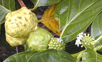 Fruit - In some plants, such as this noni, flowers are produced regularly along the stem and it is possible to see together examples of flowering, fruit development, and fruit ripening.