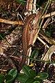 Nordfirfisle (Zootoca vivipara) (4824125241).jpg