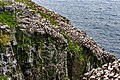 Northern Gannets St Mary Cape Newfoundland (40650850084).jpg