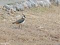 Northern Lapwing (Vanellus vanellus) (33859191318).jpg