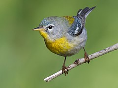 Northern parula on a branch
