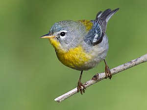 Northern Parula by Dan Pancamo.jpg