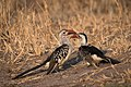 Northern Red-billed Hornbills (28185465735).jpg