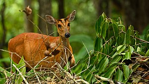 Northern Red Muntjac, Muntiacus vaginalis in Khao Yai national park (24073673163).jpg