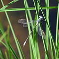 Northern Spreadwing at Lily Lake (15055713081).jpg