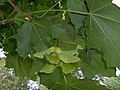 Norway Maple samaras (2997176462).jpg