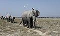 Nw 9465 Amboseli elephantparade JF.jpg