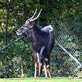Nyala Tierpark Hellabrunn-17.jpg