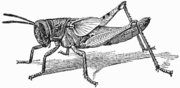 Nymph of Locust Schistocera americana with distinct wing-rudiments