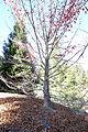 Nyssa sinensis - Quarryhill Botanical Garden - DSC03805.JPG