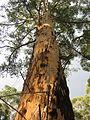 OIC pemberton gloucester tree.jpg